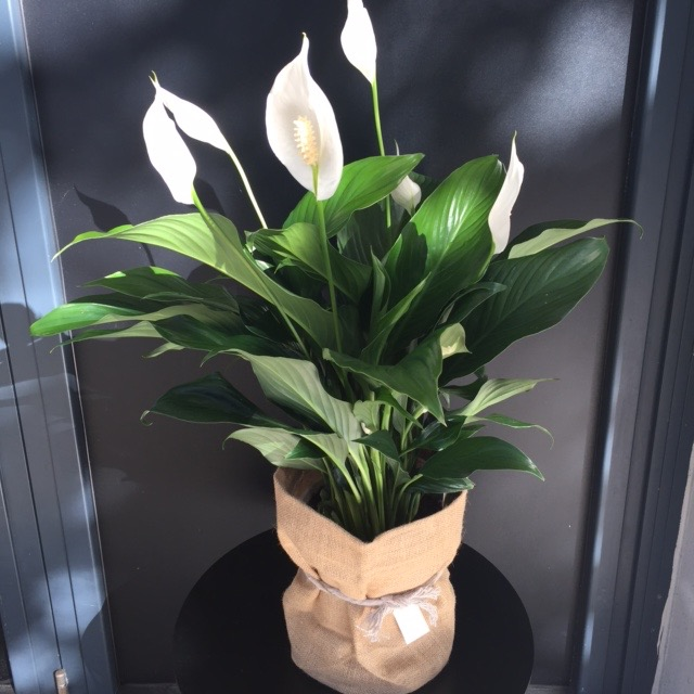 Large Spathiphyllum Peace Lilly